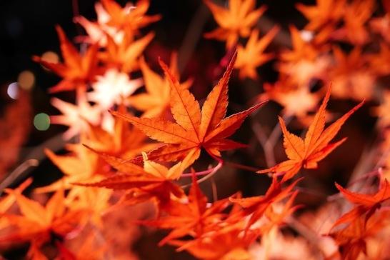 関西ライトアップ紅葉