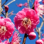 越生の梅まつり情報2017(駐車場・屋台・撮影会・梅祭り・アクセス)